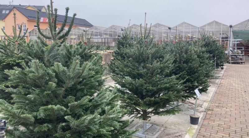 Prodej vánočních stromků zahájen. Otevřeno i v neděli