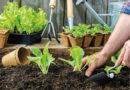 Sezóna: Rovnou vysít, nebo předpěstovat?