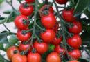 Zelenina: Rajčata, kterým plíseň neublíží