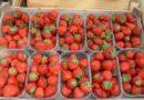 Prodej čerstvě trhaných jahod z Vraňan