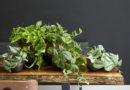 Pokojové rostliny – Šplhavník